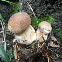 Под пенёчком два грибочка. :: nadyasilyuk Вознюк