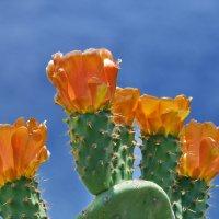 Цветущие кактусы. :: Елена Тумель