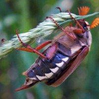 майский жук :: лиана алексеева