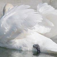 Два крыла лебединые... :: Наталья