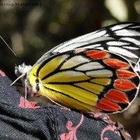 Бабочка-красавица :: Оксана Шрикантх