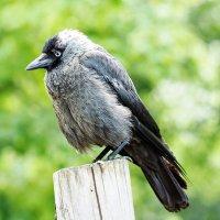 Умная птица :: Swetlana V