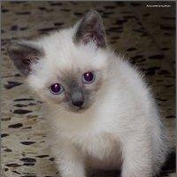 Правда Я красавец?!-из серии Кошки очарование мое! :: Shmual Hava Retro
