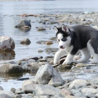 Хаски щенок на реке :: Ольга Рав
