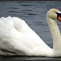 Красавец - лебедь :: Fededuard Винтанюк