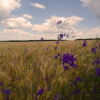 ....пшеница золотая.... :: георгий петькун