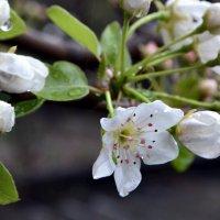 Начало цветения :: Nina Streapan