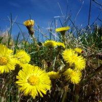 Весенние  солнышки... :: Galina Dzubina