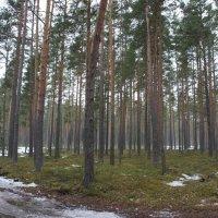 Весенний лес :: Елена Павлова (Смолова)