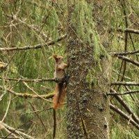 белка увидев меня застыла))) в лесу, не парковая :: Михаил Жуковский