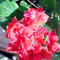 Розы. :: Валерьян