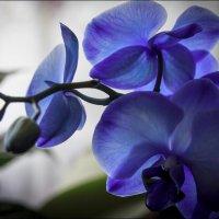 Голубая орхидея :: Елена Ерошевич