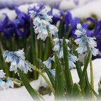 Зиме покоя не даёт весенних красок хоровод :: Ирина Подольская