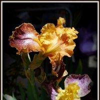 Древний цветок, ирис. :: Anna Gornostayeva
