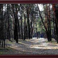 Весенее утро в сосновом лесу :: Владимир Бровко