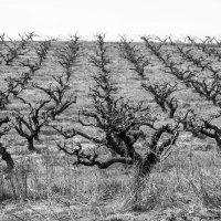персиковый сад... :: Марина Брюховецкая