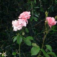 Розы на фоне оливы :: Наталья (Nata-Cygan) Цыганова