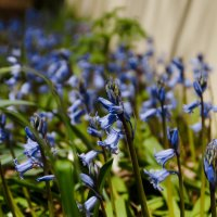 Первые весенние цветочки :: Елена Мартынова