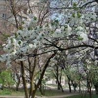 Ветка цветущей вишни :: Нина Корешкова