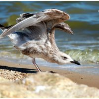 фото-охота! :: Райская птица Бородина