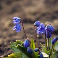 Весенние цветы :: Ольга Семенова