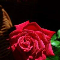 Роза :: Михаил Райдугин