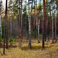 Вечер  в  лесу. :: Валера39 Василевский.