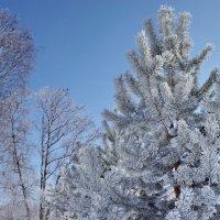 Когда деревья надевают белые шубы :: Валерий Талашов