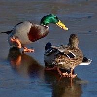 па на льду :: linnud