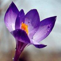 Весны цветы. С Воскресением Христовым ! :: Александр Резуненко