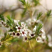 растение похожее на цветущую ель :: Ефим Журбин