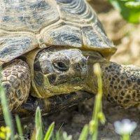 Степная черепаха :: Дмитрий Потапкин