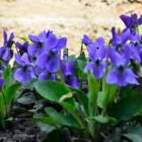 Весенние цветы :: Александр Тышко