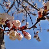 Указующий перст абрикоса :: Нина Корешкова
