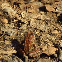 IMG_5087 - Может, Царевна-лягушка, а может, Царевна-жаба :: Андрей Лукьянов