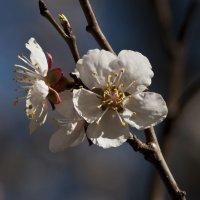 Абрикоскино цветение :: Ольга Винницкая