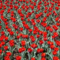 Красные тюльпаны- Атласа алого цветы, Предвестники Победы, Триумфа жизни и весны! :: Елена Елена