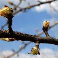 Зацветает груша... :: Тамара (st.tamara)