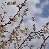 Абрикос на фоне весеннего неба :: Нина Корешкова