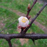 Зацветает первый абрикос... :: Сергей Петров