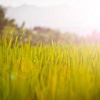 Rice field :: Дмитрий Кийко