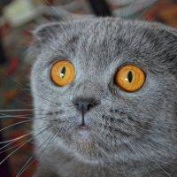 Шотландская скоттиш-фолд :: Татьяна Кретова