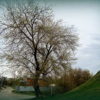 весеннее дерево... :: Галина Филоросс