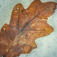 Дубовый лист :: Света Кондрашова
