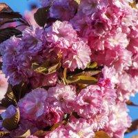 цветение сакуры :: Слава