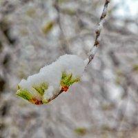 Весенний снег :: Николай Николенко