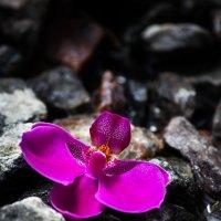 Орхидея на камнях :: Ирина Приходько
