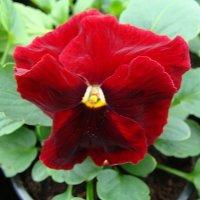 "Viola x wittrockiana "" Delta Red with Blotch "" :: laana laadas"