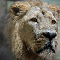 лев король зверей :: Клаудия Мойш