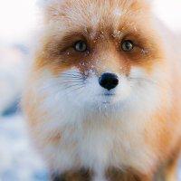 Ах, эти честные глаза..... :: Юрий Харченко
